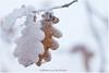 frozen leaves (HP035633) (Hetwie) Tags: wit kanaal pad leaf leaves bevrorenblaadjes mist eikenblad sneeuw frozenleaves brouwhuis blaadjes ijzel winter ice ijs snow december