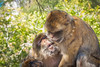 Kiss Kiss (RoamingTogether) Tags: 70200vrii barbaryape barbarymacaque europe gibraltar macaque magot nikon nikon7020028 nikond700 rockofgibraltar