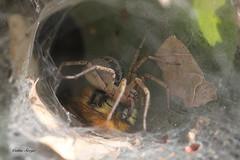 Ageléna Labyrinthica avec un bourdon ( UNIXetvous ) Tags: araignée spider bourdon bumblubee