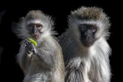 Two Cute! (helenehoffman) Tags: africa africarocks monkey primate mammal vervetmonkey oldworldmonkey conservationstatusleastconcern sandiegozoo chlorocebuspygerythrus animal coth specanimal coth5 sunrays5