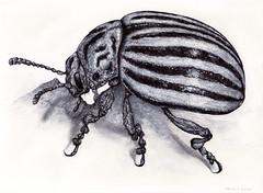 PotatoBeetle_mckie (Marks Meadow) Tags: hornet illustration linedrawing blackwhite animals insects insect drawing insectdrawing insectillustration fineart art markmckie penink wasp ecology entomology bug mckie potatobeetle beetle