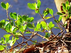 Clifftop view (jo.elphick) Tags: northdurras nsw australia macro clifftop greenleaves australiannativeplant