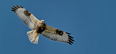 Rough-Legged Hawk - EXPLORE © (The Digital Surgeon is back) Tags: