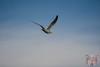 01112017DSC_0092.jpg (Ignacio Javier ( Nacho)) Tags: gaviotas aves flickr páginafotografia faunayflora