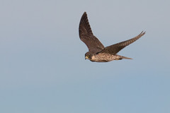 Watchful (Andrew_Leggett) Tags: peregrinefalcon peregrine falcoperegrinus inflight raptor birdofprey bird onthewing flying determined nature natural wildlife wild rspboldmoor
