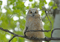 Great Horned Owlet...#8 (Fluffy) (Guy Lichter Photography - 3.7M views Thank you) Tags: canon 5d3 canada manitoba winnipeg wildlife animal animals birds owl owls greathornedowl owlet