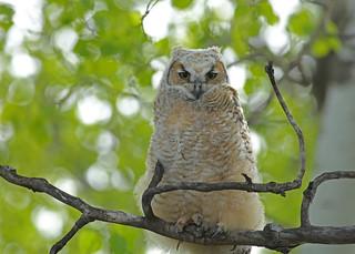 Great Horned Owlet...#8 (Fluffy)
