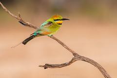 Rainbow Bee-eater (chrissteeles) Tags: rainbowbeeeater beeeater bird birding roseworthy pengilly southaustralia sa
