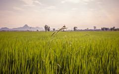 rice farm (Flutechill) Tags: ricepaddy nature agriculture ricecerealplant farm ruralscene field growth crop landscape plant cerealplant outdoors grass asia sky summer greencolor wheat meadow thailand