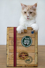 Pablo likes beer! (Tambako the Jaguar) Tags: cat domesticcat mainecoon male creme beige portrait posing cardboard box funny cute switzerland nikon d5 feline