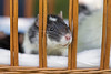"Rösli in ""prison"" (Tambako the Jaguar) Tags: rat female rodent cute macro close portrait bars basket prison switzerland nikon d5"