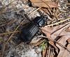 Scarabaeoidea, Passalidae.  Horned Passalus (Odontotaenius disjunctus)  Bess Beetle (gailhampshire) Tags: scarabaeoidea passalidaehornedpassalusodontotaeniusdisjunctusbessbeetle taxonomy:binomial=odontotaeniusdisjunctus