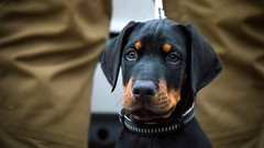 Private guard dog (zola.kovacsh) Tags: outdoor animal pet dog event dobermann puppy doberman pinscher pup