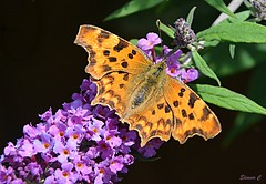 Remembering the Summer.... (Eleanor (No multiple invites please)) Tags: commabutterfly buddlea garden stanmore uk nikond7200 june2017 ngc