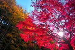 burning (Kazumi Ishikawa) Tags: try image autumn fall maple red deeppink japan