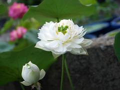 Sacred Lotus 'White Maldives' Wahgarden Thailand 4 (Klong15 Waterlily) Tags: whitemaldives lotus sacredlotus thailotus flower lotusflower wahgarden