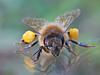 bee reflection (apemarco) Tags: reflection pollen macromonday