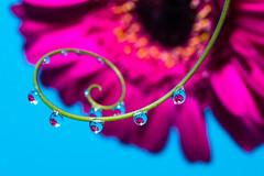 Pink gerbera refraction (abiward) Tags: gerbera gerberaflower flower droplet waterdroplets droplets refraction reflection pink blue nikon nikond600 macro macrophotography closeup