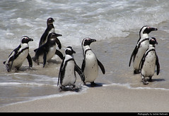 Penguins, Boulders Beach, Simon's Town, South Africa (JH_1982) Tags: simons town simonstad simonstown サイモンズタウン саймонстаун boulders beach penguin penguins african spheniscus demersus pinguin pinguine brillenpinguin manchot cap 黑脚企鹅 ケープペンギン 아프리카펭귄 очковый пингвин animal wildlife nature tier south africa rsa za südafrika sudáfrica afrique sud sudafrica 南非 南アフリカ共和国 남아프리카 공화국 южноафриканская республика جنوب أفريقيا