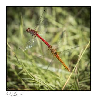 Mating Ruddy Darter Dragonflies (Sympetrum sanguineum) in flight