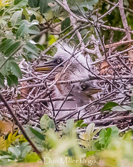 The babies are back! (DonMiller_ToGo) Tags: chicks wildlife venicerookery gbh birds outdoors birdwatching rookery d810 nature florida