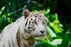 Blue Steel (huskiilove) Tags: bluesteel cat tiger white look eyes nature zoo singapore stare