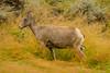 Standing tall {Explored} (ChicagoBob46) Tags: rockymountainbighornsheep bighornsheep sheep ewe yellowstone yellowstonenationalpark explore explored ngc coth5