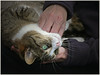 Poeka 3.0 ... (Jan Gee) Tags: poeka cat chat kat poes katze gato gatto gata cypers tabby couch hands cuddles