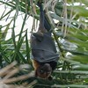 Indian flying fox   /fruit bat (faux tographer) Tags: fruit bat flyingfox