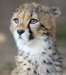 Celebrating International Cheetah Day
