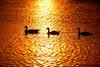 Amigos. (Photolove2017) Tags: nikondx nikon d3100 ottawariver tiaphoto photolove2017 canada sunrise ducks day light nature