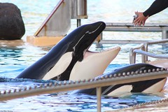 Morgan & Kohana (Diva Flora) Tags: loro parque orcas keto tekoa kohana skyla morgan adán orca ocean