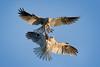 Food Exchange - explored (alicecahill) Tags: california usa wild wildlife ©alicecahill sanluisobispocounty pair bird whitetailedkite two animal