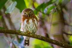 Least Pygmy-Owl - Brazilian Birds - Species # 226 (Bertrando©) Tags: aves bahia boanova brasil caburémiudinho glaucidiumminutissimum leastpygmyowl novembro2014 reinoanimal strigidae strigiformes vertebrados birds pássaros natureza nature wildlife birding birdwatching birdwatcher brazil brazilianbirds naturalbeauty naturalworld bertrando campos 1