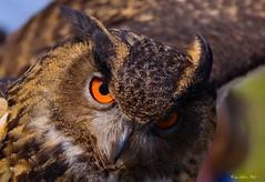owl (alph@ wolf) Tags: owl raubvogel bird europe naturphotography animal natur macro macrounlimited macrodreams outdoor alphawolf photography pentax k1 photo signature copyright