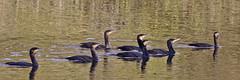 The Tour Guide (stephen.reynolds) Tags: cormorants brandon marsh wkwt water birds