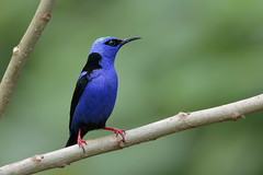 Red-legged Honeycreeper (Greg Lavaty Photography) Tags: redleggedhoneycreeper cyanerpescyaneus costarica october alajuela arenal tropical tropics neotropical photographytour birdphotography outdoors bird nature wildlife