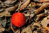 Stand by me (Mauro Hilário) Tags: flora tree fruit portugal forest autumn fall artistic red nature leaves arbutus unedo strawberry