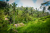 Tegallalang Rice Terrace (ajanth.v) Tags: tegallalang rice terrace bali indonesia coconut tree paddy fields green nature travel photography landscape outdoor nikon d7100 18140mm