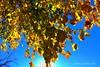 Otoño en Úbeda (Guervós) Tags: otoño autumn fall automne herbst فصلالخريف tardor 秋 aŭtuno udazken outono φθινόπωρο पतझड़ herfst autunno jesień toamnă осень sonbahar hoja folha feuille leaves moral morera morusnigra mulberry úbeda jaén andalucía andalusia españa spain espagne spanien spagna 西班牙 espanya स्पेन ہسپانیہ espania espanha amarillo yellow giallo amarelho jaune gelb 黄色