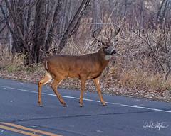 Big Buck Crosses Road (dcstep) Tags: dsc8616dxo cherrycreekstatepark aurora colorado usa deer buck bigbuck whitetaildeer male bigwhitetaildeerbuck dark night allrightsreserved copyright2017davidcstephens dxophotolab101 urban wild wildlife nature urbannature mammal