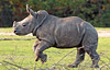 white rhino Burgerszoo BB2A6592 (j.a.kok) Tags: rhino rhinocerosunicornis neushoorn witteneushoorn breedlipneushoorn whiterhino animal africa afrika burgerszoo mammal herbivore zoogdier dier wiesje izala rhinoceros