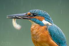 'Breakfast in the Rain' (benstaceyphotography) Tags: scottishwildlifephotographyhides aves nikon d800e 500f4vr scotland scottishwildlife dumfriesgalloway kingfisher bird rain motion fish fishing nature wildlife