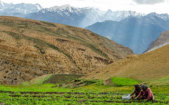 Sustenance (sakthi vinodhini) Tags: spiti komic village farm pea mountains sunrays sunset rays snow covered women work farming himalayas himachal pradesh india