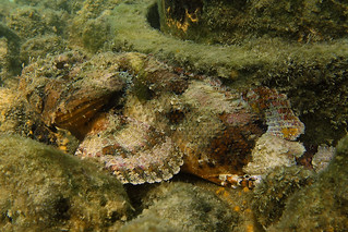 Scorpionfish, Navarre Beach, Florida