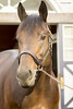 Uncle Mo, 2017 (Casey Laughter Media) Tags: stallion horse racehorse thoroughbred stud breeding intact ashford coolmore america unclemo indiancharlie
