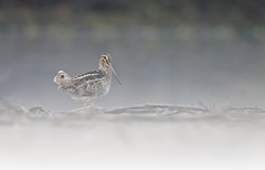 Common Snipe (jadi_jal) Tags: naturephotographer nature naturephotography wildlifephotography wildbird fog morning common snipe