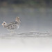 Common Snipe (jadi_jal) Tags: naturephotographer nature naturephotography wildlifephotography wildbird fog morning common snipe