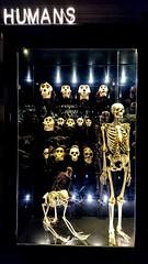 Humans (DavidSteele31) Tags: manchestermuseum manchester skeleton skulls bones humans reflections museum display neon
