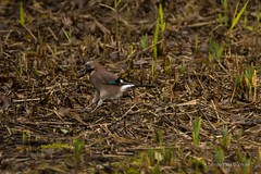 _DSC1994 (AngelPixCn) Tags: angepixcn birds farm feeding green heron jay nikond7100 pond wings yellow cardiff wales unitedkingdom gb
